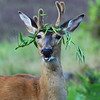 """ A Real Party Animal ""  I have been photographing whitetail deer for many years and this is the first time I ever saw one wearing a hat. LOL"