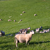 Sheep on grazing land