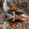 Western Painted Turtles ( 2 )