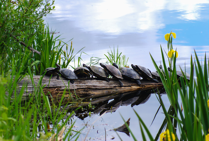 This was taken at Juanita Bay on Lake Washington in the Kirkland area. I found it interesting that the turtles leaned against each other in this manor while sunning. Add to that the colors of spring and reflection....I thought it was a great scene.