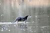 Oter<br /> <br /> Eurasian otter