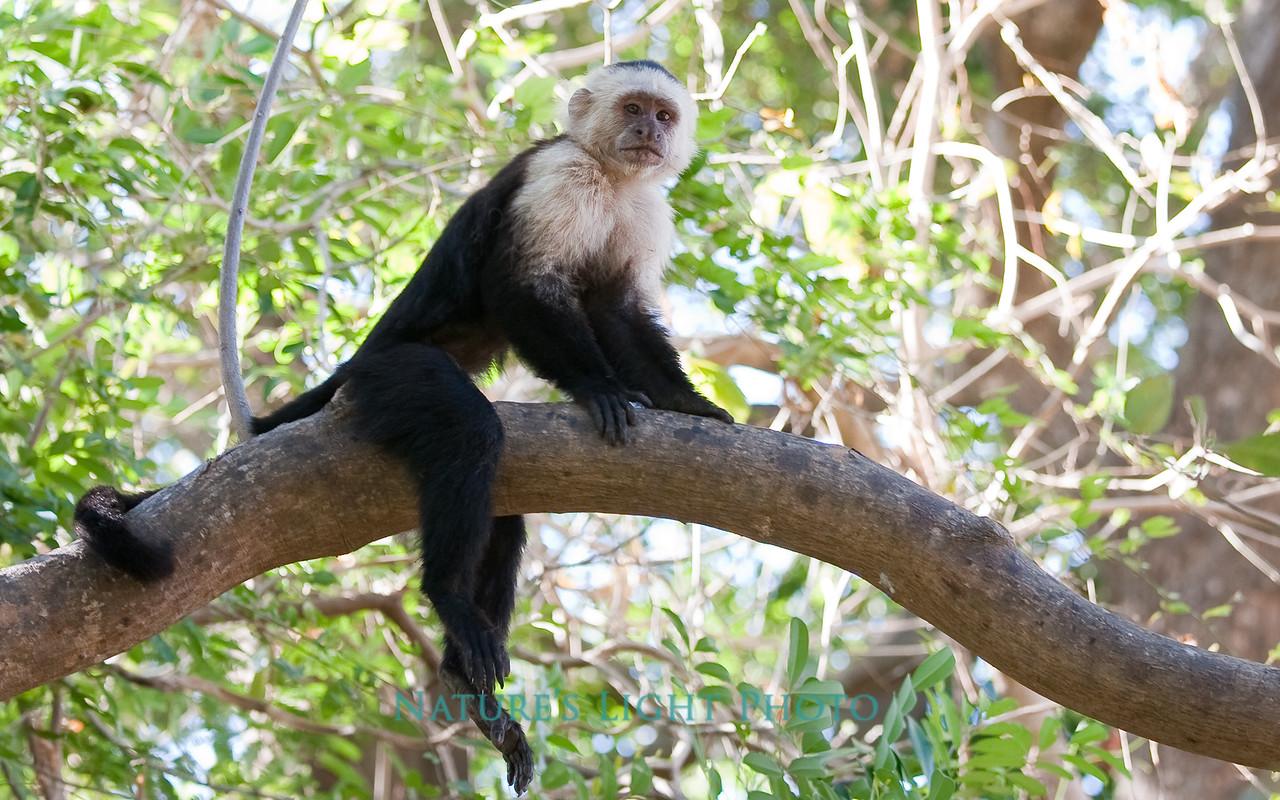 White-faced Capuchin, Palo Verde National Park, Costa Rica