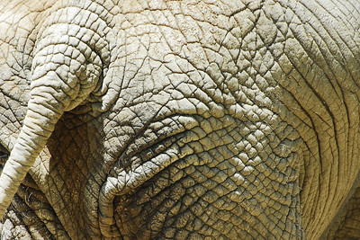 Brookfield Zoo - Elephant