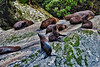 Fur seals basking in the sun along the rocky coastline of Milford Sound.