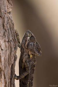 Arabisk kameleont