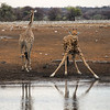 <h4>To drink water giraffe have to adopt a very ungainly position with legs widely spread. This places them in a position of extreme vulnerability to predators for it requires much effort and precious time to get into this position and regain an upright posture when they have finished drinking. Giraffe seem to be aware of this because they are very circumspect before they actually commit themselves to taking up the drinking position and will stand for a long time at a waterhole carefully observing the surroundings before they will finally move to the waters edge and drink. Having to lower the head to a position much lower than the heart also presents unique physiological challenges.</h4>