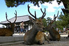 Japanese Deer - Nara