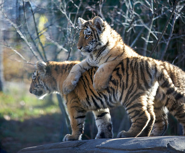 Young Siberian tiger cubs in the Bronx Zoo (November 2010)