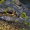 "<strong><center>I'm Watching You</strong></center> We were fishing on a pier at Brazos Bend State Park, and watching an alligator right under the pier – after downloading the pictures, we could see that he was watching us as well - Here we are fishing on the pier caught "" in the eye of the gator""."