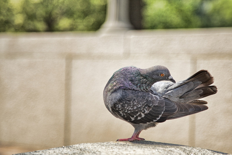 Pigeon in Marshall Park, Washington, DC