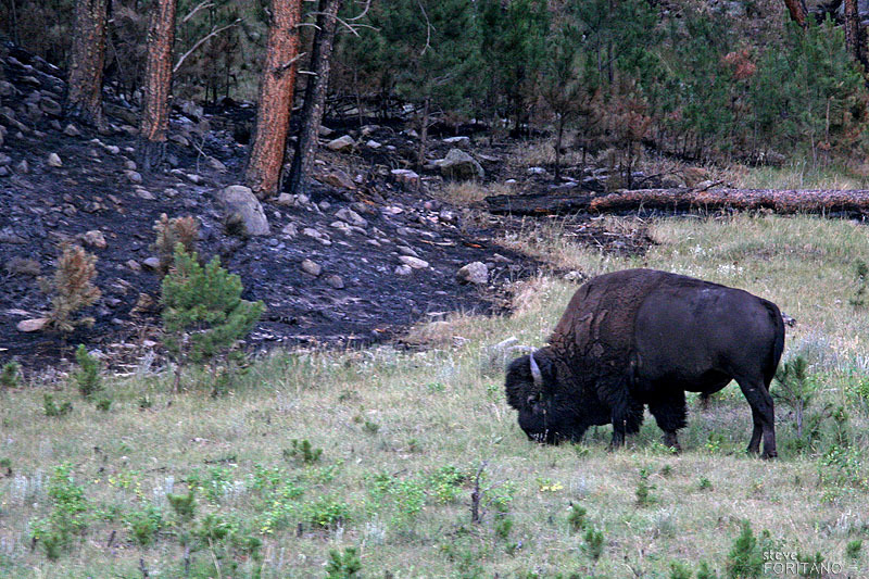 Custer State Park, South Dakota<br /> Buffalo grazing near site of  2007 forest fire.