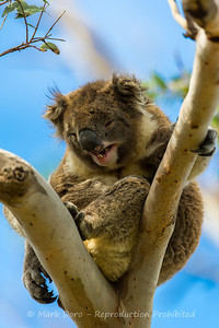Now that was funny! Male Koala, Cape Otway Lighthouse, Victoria