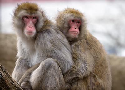 Two Japanese macaques huddling at the Cincinnati Zoo.
