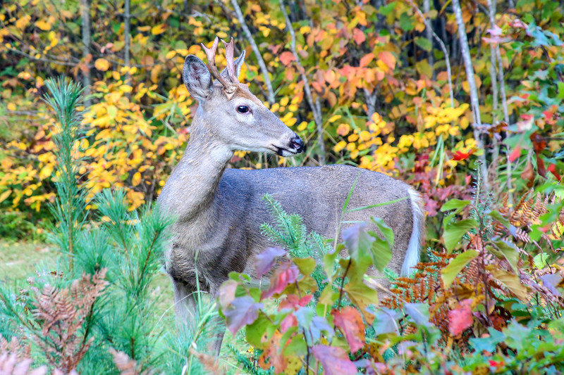 Young Autumn Buck 2