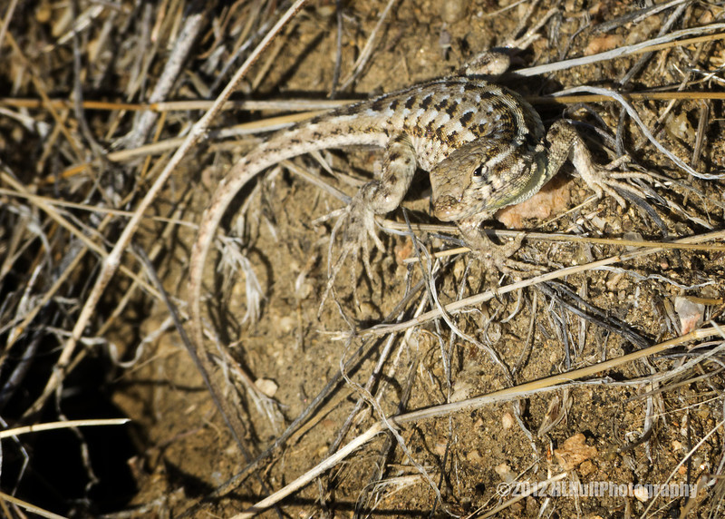 """Western Fence Lizard...<br /> <br /> California Poppy Reserve, Antelope Valley<br /> Lancaster, CA<br /> <br /> More about the Reserve can be found here: <a href=""""http://en.wikipedia.org/wiki/Antelope_Valley_California_Poppy_Reserve"""">http://en.wikipedia.org/wiki/Antelope_Valley_California_Poppy_Reserve</a> <br /> <br /> Posting early for Tuesday, as I won't be on the computer until later in the day...<br /> <br /> May 22, 2012"""