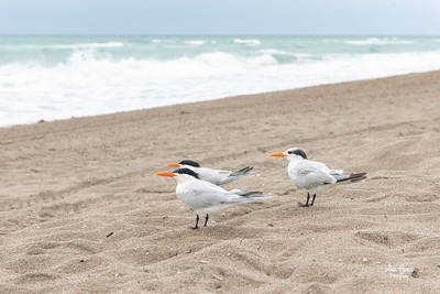 Shorebirds on the beach of Hollywood Beach, FL | Florida Nature, Landscape Photographer, Home Decor Prints  | Fine Art Photography Prints Wall Art