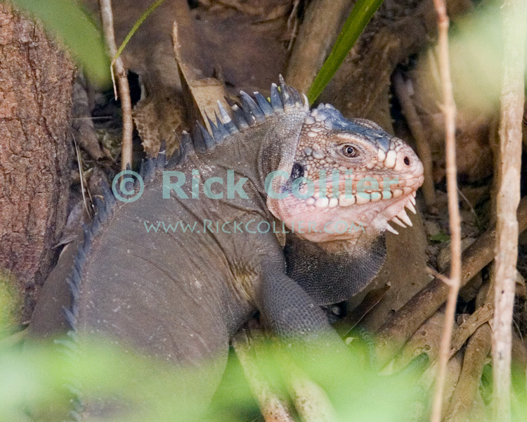 """The Lesser Antillean Iguana is found only on several islands of the Caribbean islands of the Lesser Antilles chain.  It is endangered and protected.  St. Eustatius (Statia), Netherlands Antilles.<br /> <br /> <br /> <br /> <br /> """"St. Eustatius"""" """"Saint Eustatius"""" Statia Netherlands Antilles """"Lesser Antilles"""" Caribbean lizard iguana """"Lesser Antillean Iguana"""""""