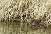 Don't get to see many Beavers out and about around Seattle, but they are here.
