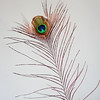 Real Peacock Feather isolated