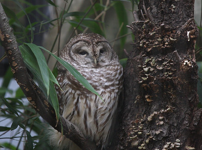 Barred Owl at the Bronx Zoo