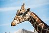 151001 - 7463 Giraffe