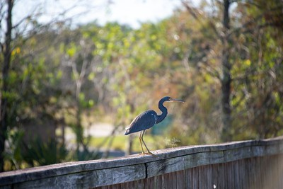 National Bird Day | Tricolored Heron