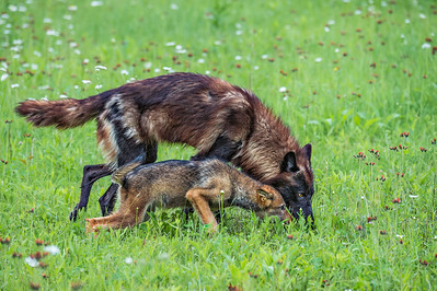 USA, Minnesota, Sandstone, Minnesota Wildlife Connection.   Grey wolf and pup hunting in the grass with wildflowers.