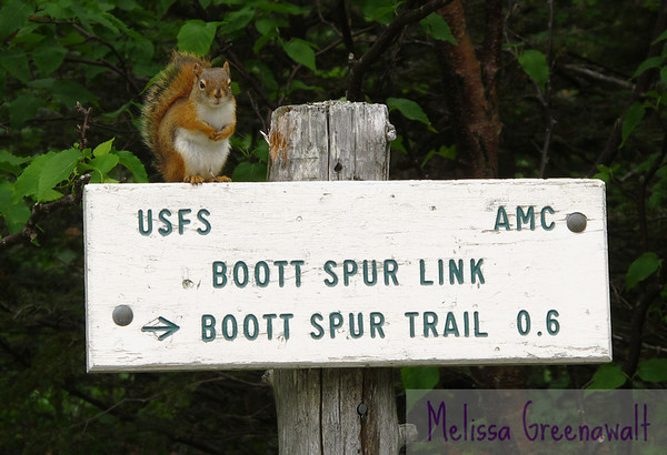 Innocent-looking squirrel suggests a route up in Tuckerman's Ravine, Mount Washington, NH.