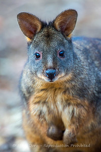 Pademelon portrait