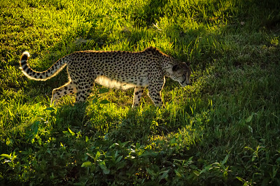 A jaguar walking in the grass backlight from the sun at the Jacksonville Zoo.
