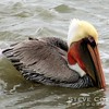 This brown pelican was waiting for a handout from the passing ferries going to and from Port Aransas.