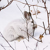 Close Encounter with a Snowshoe Hare 13