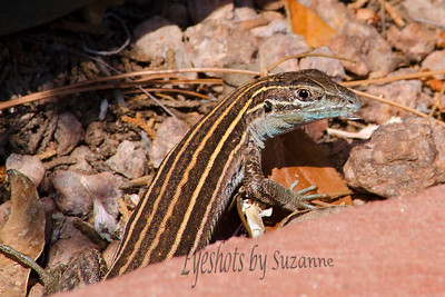 AZ Striped Whiptail Caught this cute little guy while I was up in Sedona.  Loved the beautiful turquoise color of their underside.
