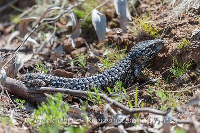 Shingleback Lizard, Mount Arapiles, Victoria