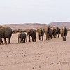 <strong><center><b>The Namibia Desert Elephants have adapted to their dry, semi-desert environment by having a smaller body mass with proportionally longer legs and seemingly larger feet than other elephants. Their physical attributes allow them to cross miles of sand dunes to reach water.
