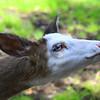 """""""Piebald Deer"""""""
