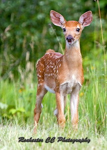 Fawn watches through the trail
