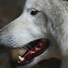 """""""  White Fang the Timber Wolf  """""""