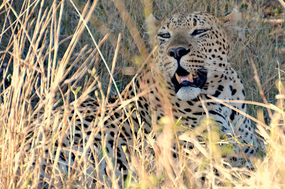 Leopard Encounter. ……………….[ Copyright © - Photo by Barry Jucha ]