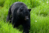 Wild Black Bear image captured in Northern Minnesota.