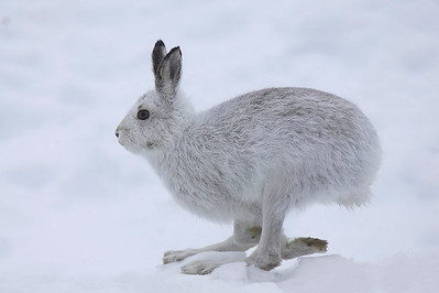 Mountain hare flying past