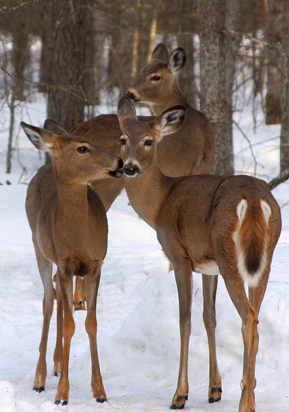 """Deer Kisses"""