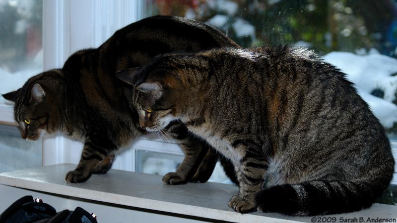 Intruder Alert!!<br /> <br /> Mokume & Mr. Stripey keep a close eye on the visiting dog.<br /> March 2009