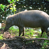Wild boar sow, Disneyland, Orlando, Florida