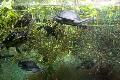 Australian Snake-Necked Turtles.  Taken at the National Zoo in Washington DC.