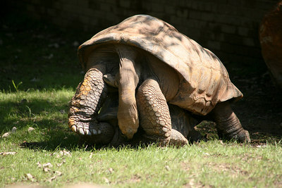 Aldabra Tortoises.  Taken at the National Zoo in Washington DC.