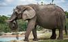 161126 - 9966 African Elephant