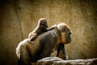 San Diego Zoo Safari Park, USA, Mother and baby western lowland gorilla.