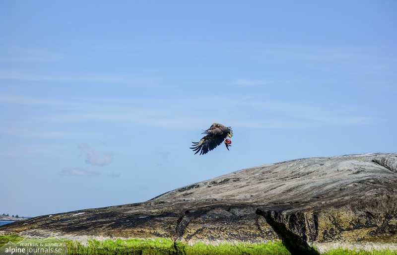 A majestic white-tailed eagle takes off with its prey.