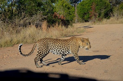 After a 10 minute private viewing, the leopard decided to move on. ……………….[ Copyright © - Photo by Barry Jucha ]